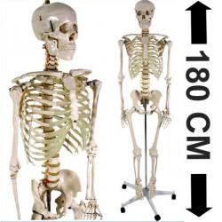 Squelette humain 180cm - Squelette du corps humain